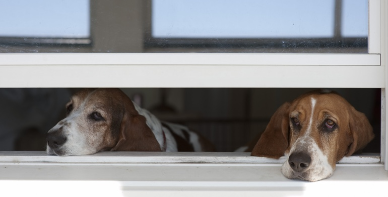 Beagles look out open window without window treatment in Phoenix.